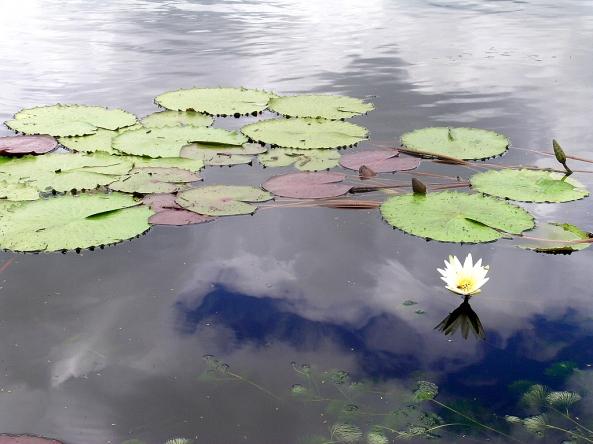 A flor que nasce do lodo com sua exuberante beleza