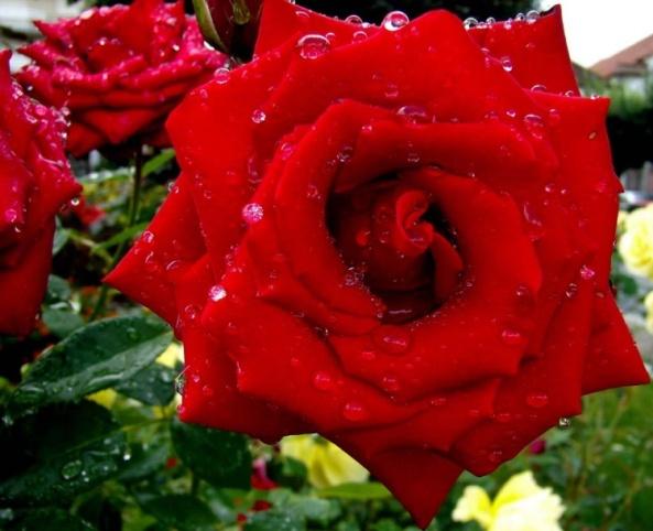 Rosas-vermelhas-imagem-4